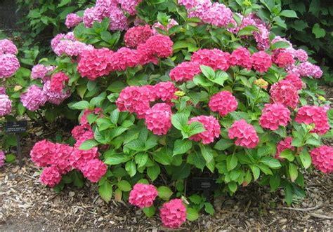 Bibit Bunga Hydrangea tanaman forever pink mophead hydrangea bibitbunga