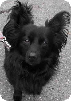 pomeranian vancouver archie adopted adopted vancouver bc papillon pomeranian mix