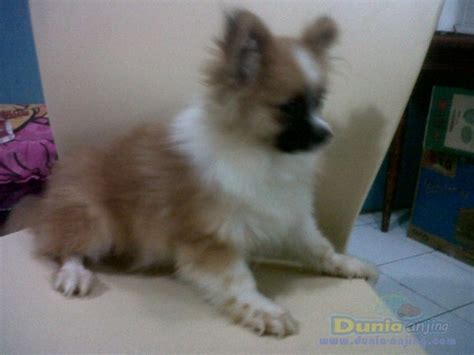 anjing semua color dunia anjing jual anjing pomeranian minipom