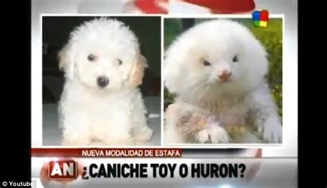 man  shock   toy poodles turn    giant rodents  steroids daily mail