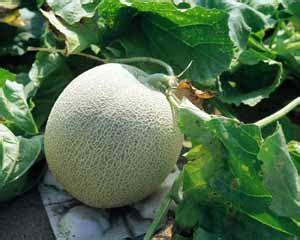 Budidaya Bertanam Melon aneka usaha di pedesaan bertanam melon
