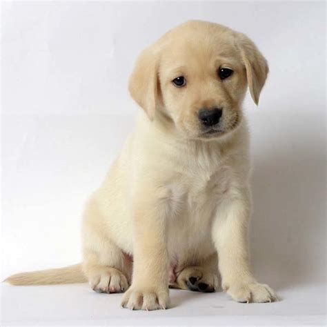 how much do lab puppies cost lab pup jpg 4 comments hi res 720p hd