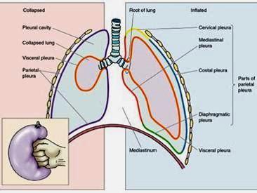 Define Cupula 4 Histology Of Respiratory 2 Anatomy Physiology 2402