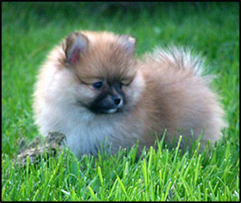 pomeranian breeder canada pomeranian breeders canada s guide to dogs breeds