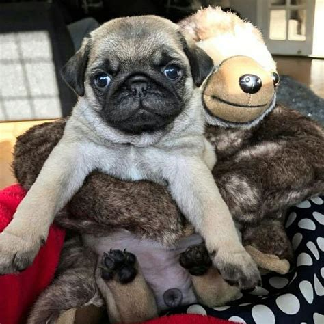 baby pug names 1000 ideas about baby pugs on baby pugs pug names and pugs