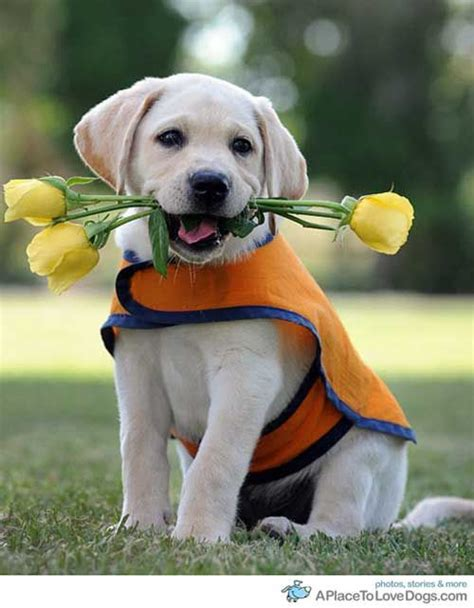 golden retriever puppies for sale gold coast labrador retriever puppies for sale gold coast dogs in our photo