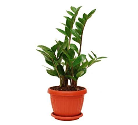 zz plant zamioculcas zamiifolia description  care guide