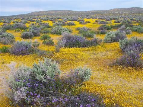 california desert flowers blooming in the desert how to encourage a friend