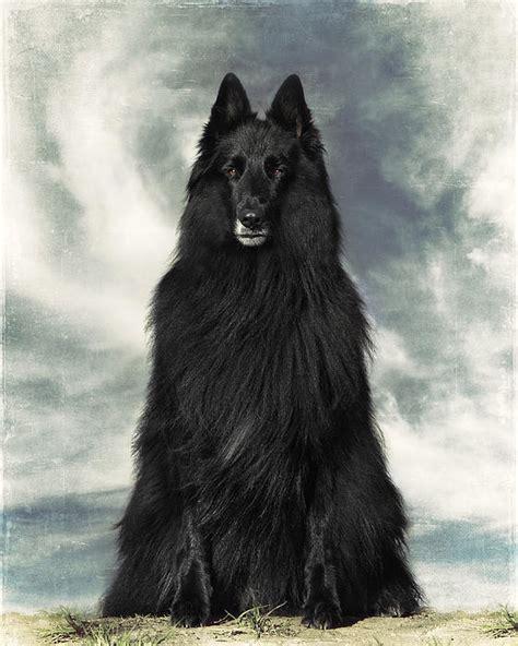 belgian shepherd groenendael pin wolf hybrid breeders nc on