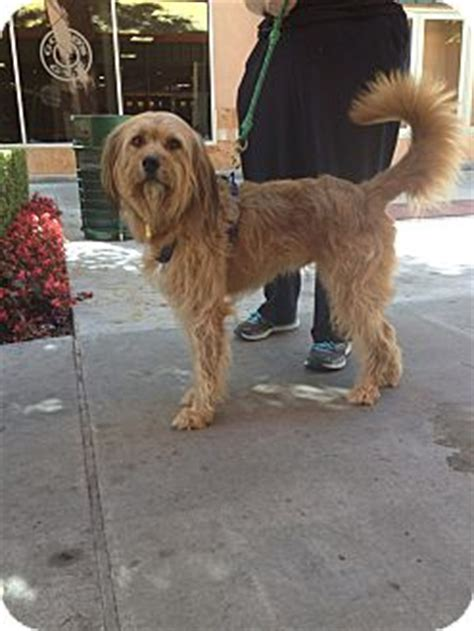 golden retriever wheaten terrier mix baxter adopted thousand oaks ca wheaten terrier golden retriever mix