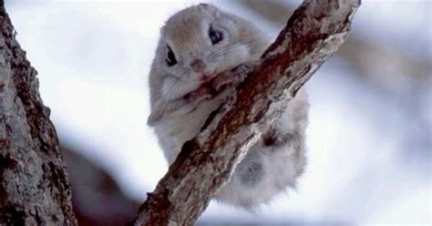 scoiattoli volanti japanese flying squirrel japanese flying squirrels