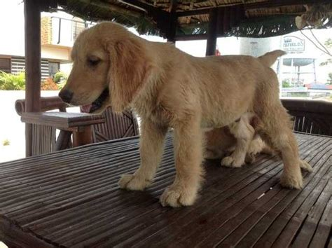 golden retriever philippines golden retriever pups for sale adoption from bulacan adpost classifieds