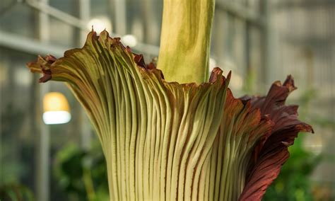 corpse flower corpse flower in denver colorado life style by