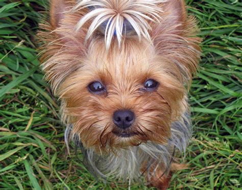 teacup yorkie characteristics terriers temperament personality follow proper sessions to