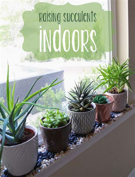 grow raising succulents indoors
