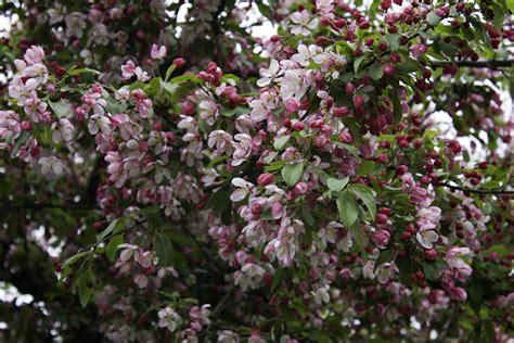pink flowering trees bing images