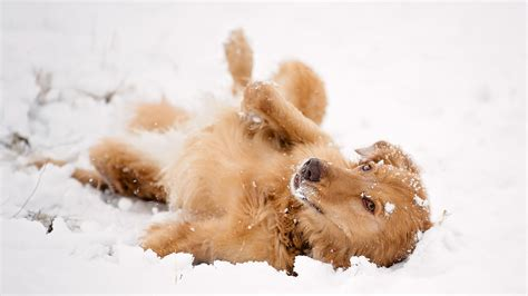 dogs in snow lying in the snow wallpapers and images wallpapers pictures photos
