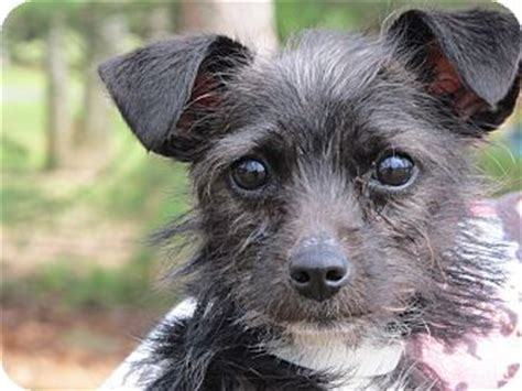 miniature schnauzer yorkie mix simon adopted lm washington dc schnauzer miniature yorkie