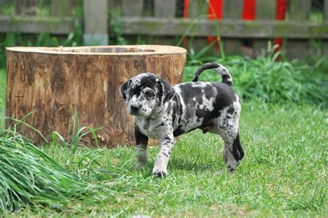 breed behavior catahoula leopard puppies rescue pictures information temperament