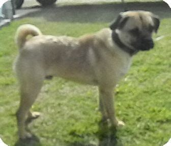 american bulldog pug mix otis adopted dublin ga pug bulldog mix
