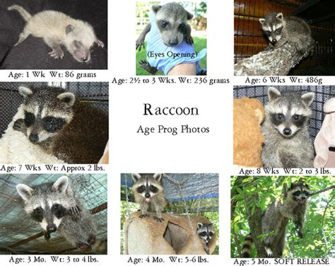 what to do if a raccoon is in your backyard care for baby raccoons the arc animal rehabilitation center