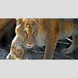 Half Lion Half Tiger Art | 600 x 315 jpeg 33kB