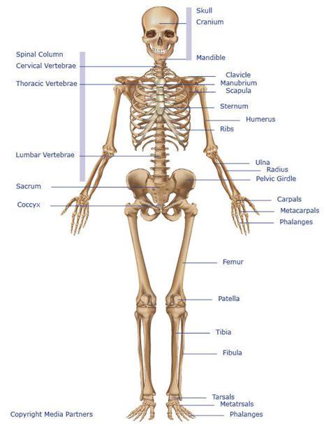 skeletons come out and places from drilling skeletal system skeleton bones joints cartilage