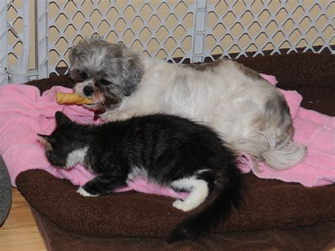 shih tzu bed beds same shih tzu different day