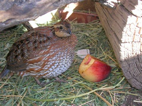 how to raise bobwhite quail backyard chickens community