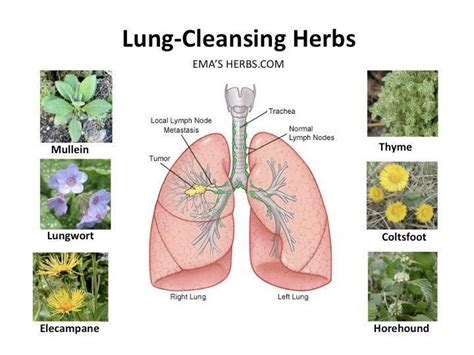 Detox Symptoms Lungs by Best 25 Lung Cleanse Ideas On Lung Detox
