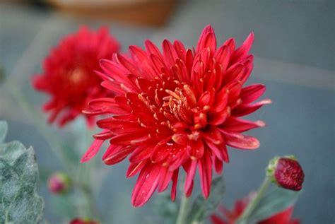 fiori cinesi fiori cinesi fiori delle piante tipologie fiori