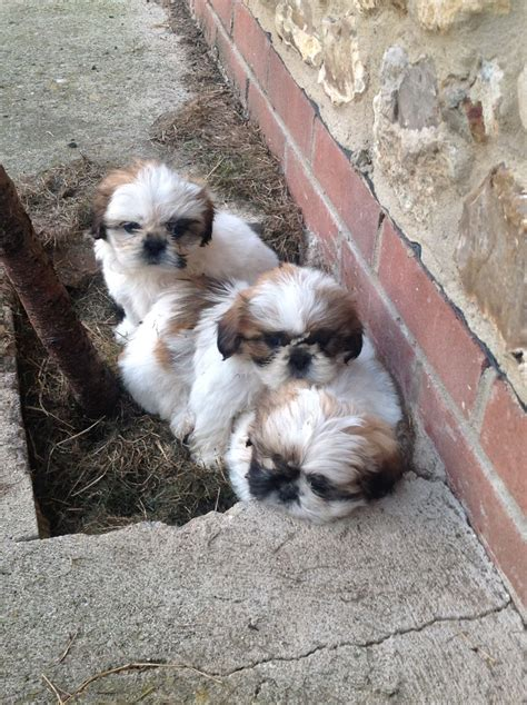 shih tzu puppies for sale bc shih tzu puppies for sale colyton pets4homes