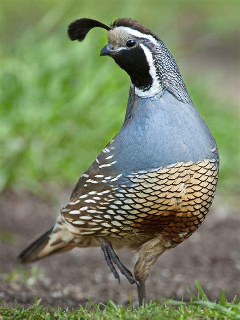 california quail callipepla californica flickr photo