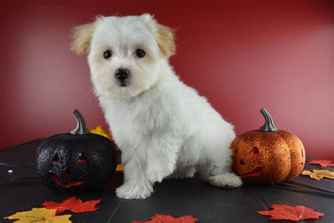 cool puppies havanese puppies for sale 30 cool hd wallpaper dogbreedswallpapers