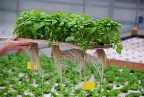 Menanam Mint Hidroponik | 6 jenis tanaman hidroponik untuk ditanam di rumah