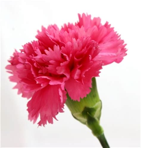 Water Vases Buy Wholesale Pink Standard Carnations 175 Stems