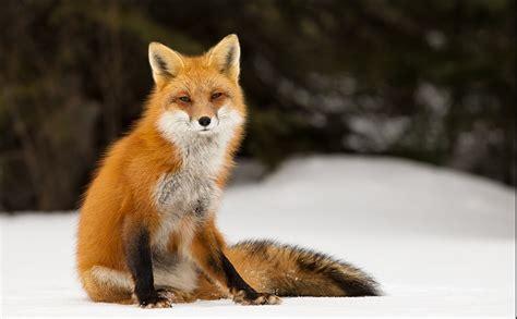 best fox pictures piękna fauna japonii japoland