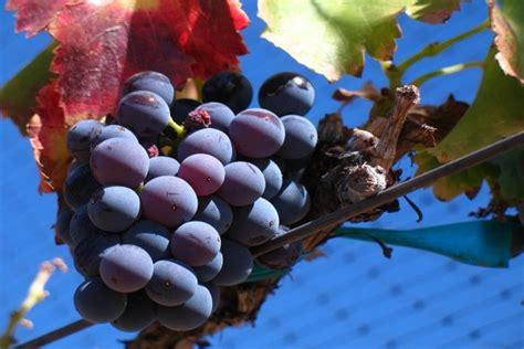 imagenes uva garnacha uva garnacha noir de un vi 241 edo en santa barbara