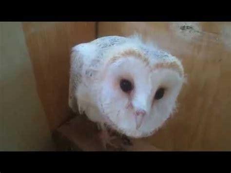 Barn Baby baby barn owl