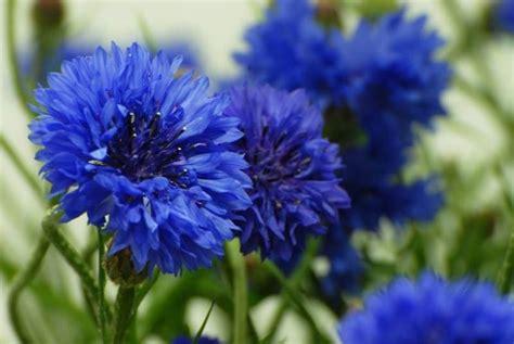 fiori azzurri nomi fiori fiordaliso fiori delle piante