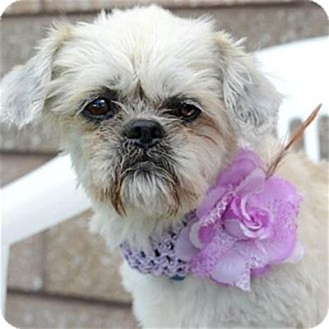 craigslist denver puppies denver colorado pet adoption colorado shih tzu auto design tech