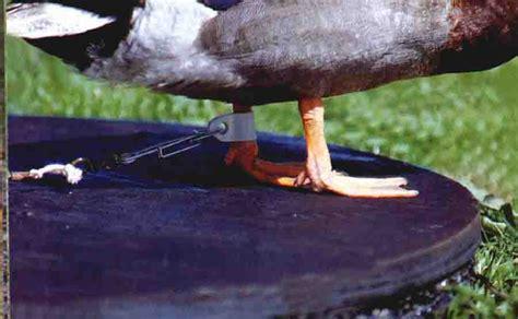 attelage canard hutte chasse attachera d 233 finition exemple et image