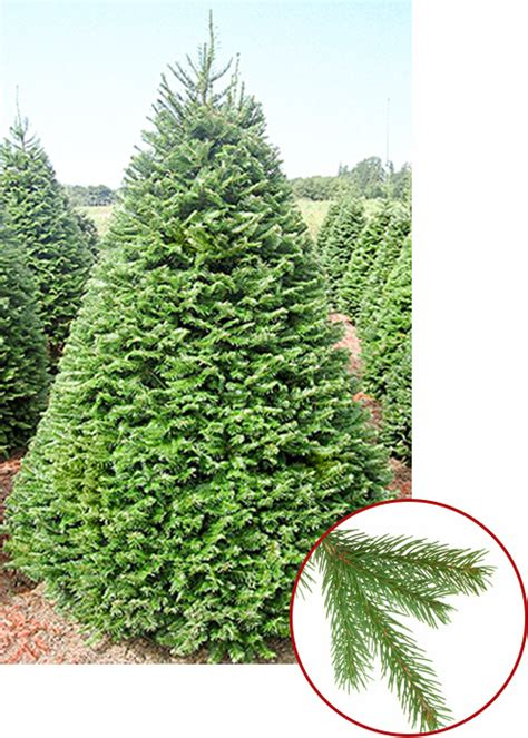 fragrant christmas tree best 28 most fragrant tree tree guide awesome picture of most fragrant