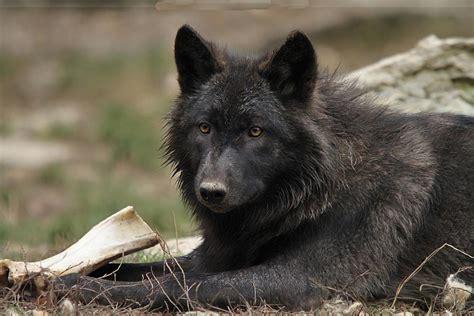 imagenes lobo negro lobo negro