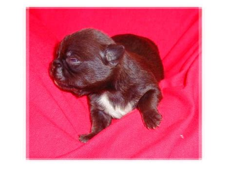 chug yorkie mix yorkie min pin mix puppies breeds picture