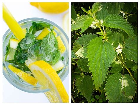 Nettles Liver Detox by Purify Blood And Treat Liver With Nettle And Lemon
