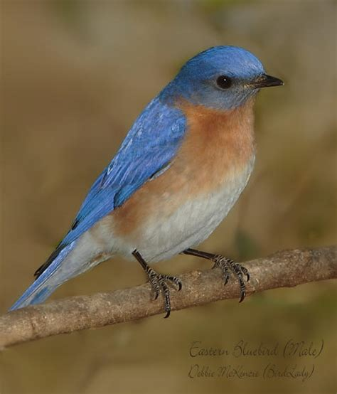 male eastern bluebird www imgkid com the image kid has it