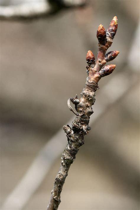 ciliegio da fiore giapponese ciliegio da fiore prunus serrulata