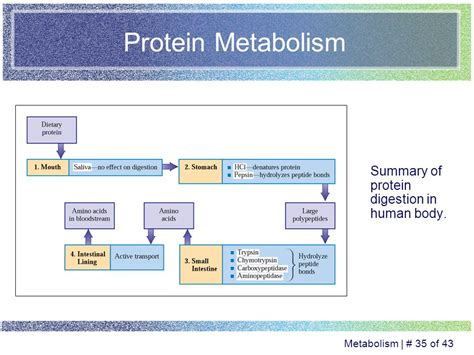 protein metabolism carbohydrate lipid and protein metabolism ppt