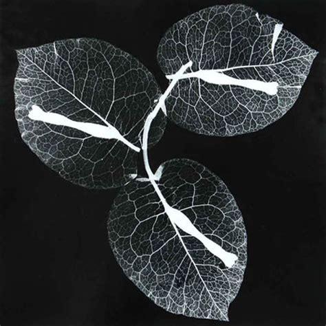 roxanne worthington breath: floral photograms | lensculture